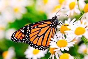 A monarch butterfly feeding from a flower
